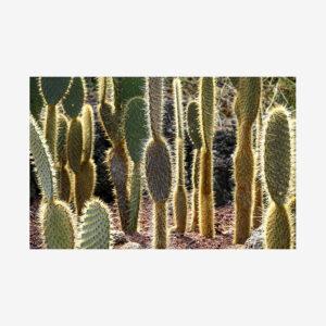 Cacti Field, Galápagos Islands