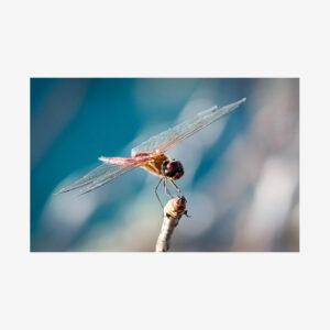 Dragon Fly, Galápagos Islands