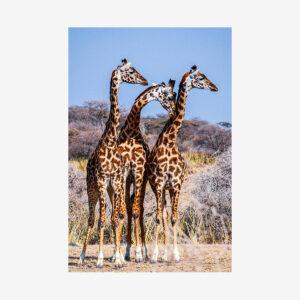 Three Giraffes, Tanzania