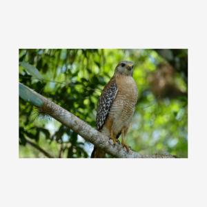 Red-shouldered Hawk, Big Cypress National Preserve, Florida